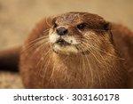 Small photo of An endangered African Clawless Otter looking into the distance.