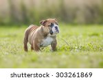 cute funny english bulldog... | Shutterstock . vector #303261869