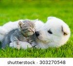 Stock photo white swiss shepherd s puppy playing with tiny kitten on green grass 303270548