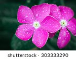 Vinca Flower With Drops Of Dew.