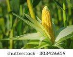 Ear Of Corn In A Field In...