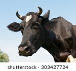 Black Cow Against Blue Sky...
