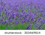 beautiful lavender garden in... | Shutterstock . vector #303469814