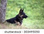 german shepard dog lay outside... | Shutterstock . vector #303495050