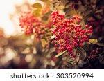vintage photo of red berries in ... | Shutterstock . vector #303520994