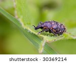 Small photo of liparus glabirostris , a weevil , or snout beetle
