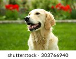 adorable labrador sitting on... | Shutterstock . vector #303766940