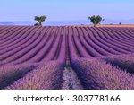 lavender field summer sunset...   Shutterstock . vector #303778166