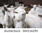 Herd Of Curious White Goats...