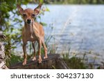 Small photo of Dwarfish pinscher against the lake