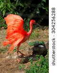 greater flamingo with...   Shutterstock . vector #304256288