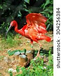 greater flamingo with...   Shutterstock . vector #304256384