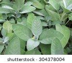 garden sage  salvia officinalis