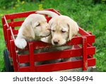 two adorable yellow lab puppies in red cart - stock photo