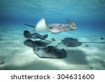 Small Group Of Grey Stingray...