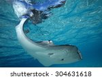 Grey Stingray Swimming Close T...