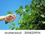 Gardener Cuts A Branch Of Plum...