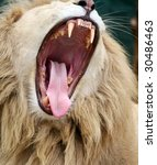 white lion with mouth open - stock photo