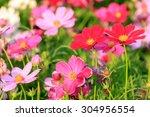 Closeup Cosmos Flowers In Fiel...