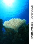 Small photo of Table Coral (Acropora pharaonis)