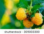 Yellow Raspberries. Growing...
