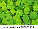 Green Clovers With Little...