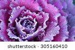 ornamental decorative cabbage... | Shutterstock . vector #305160410