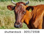cow on a summer pasture on a... | Shutterstock . vector #305173508