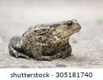 Common Toad.