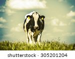 dairy cow walking on the... | Shutterstock . vector #305201204