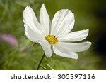 White Cosmos Flower Blossom In...
