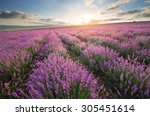 meadow of lavender. nature... | Shutterstock . vector #305451614