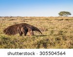 A Wild Giant Anteater At The...