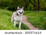 Siberian Husky Dog With Blue...