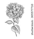 sprig of blooming hydrangea ... | Shutterstock .eps vector #305577710