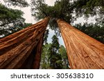 Giant Sequoia Trees, Sequoia National Park, California - stock photo