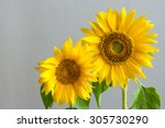 Two Sunflowers On A Grey Grain...