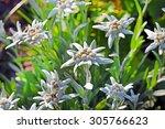 Edelweiss Alpine  Leontopodium...