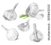 hand drawn set of garlic with... | Shutterstock .eps vector #305842010