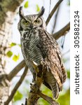 Wild Great Horned Owl Perched...