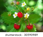 Closeup Of A  Wild Strawberry...
