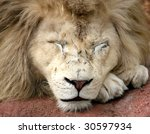 close up of male white lion sleeping - stock photo