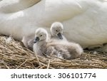 Cygnets Sitting In Front Of An...