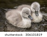 Two Cygnets In The River Close...