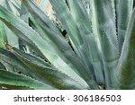 Close Up Of Huge Agave Plants....