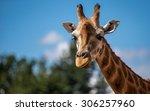 giraffe pictured again blue... | Shutterstock . vector #306257960