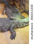Small photo of group of dangerous Nile crocodiles resting (Crocodylus niloticus)