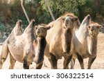 Three Bactrian Camels In The...