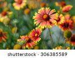 Gaillardia Or Blanket Flowers