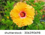 A Beautiful Orange Hibiscus...